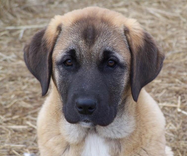 """Lost Armadillo Ranch Anatolian Shepherd dogs"""
