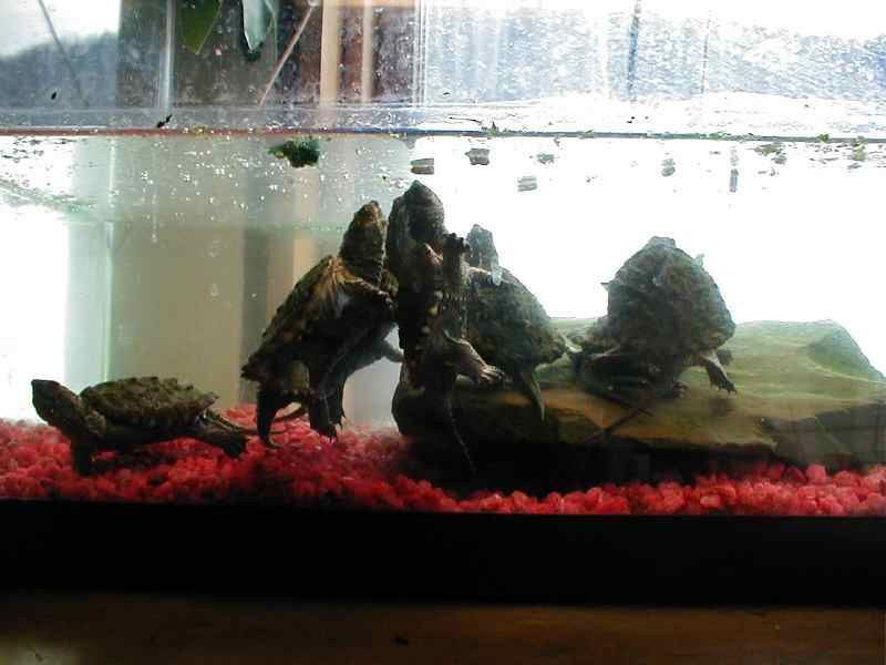 turtles thrive on commercial turtle food