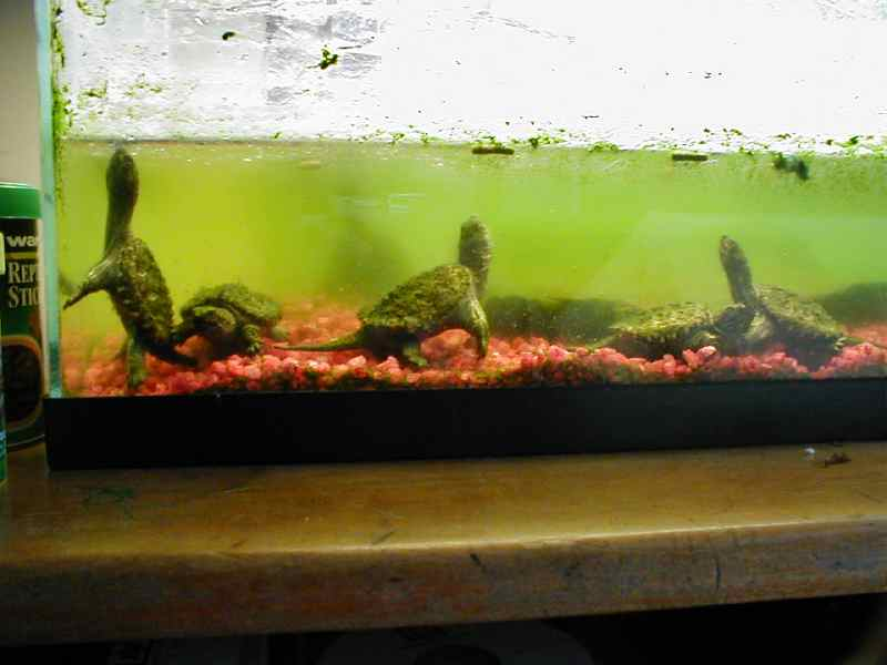 Turtle tank smell how to get rid of turtle tank odors for Fish tank smells